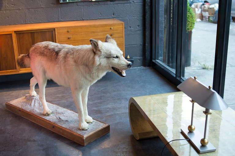 Alaskan Tundra Wolf For Sale 2