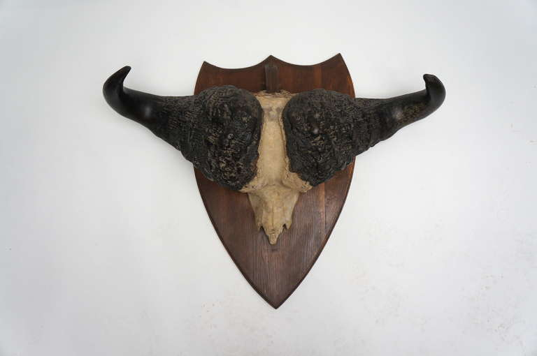 Early 20th Century Water Buffalo Skull In Good Condition For Sale In Antwerp, BE