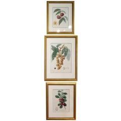 Group of Six Framed Fruit Botanicals