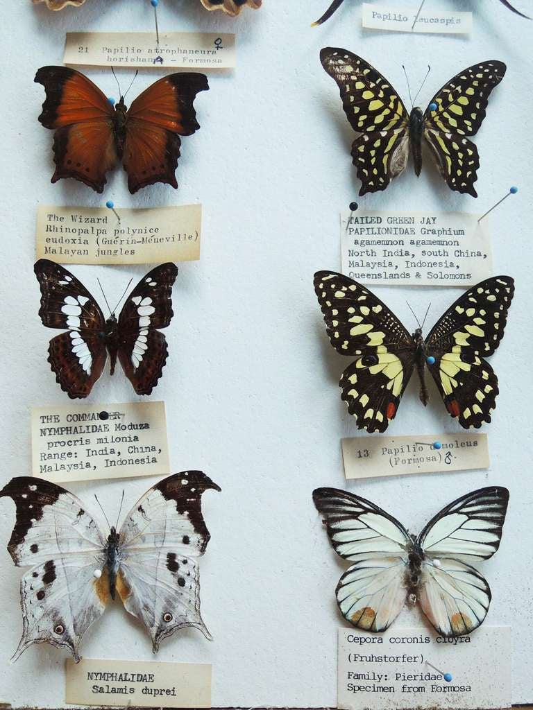 Butterfly Specimen Box In Excellent Condition For Sale In Washington, DC