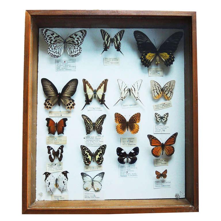 Butterfly Specimen Box at 1stdibs