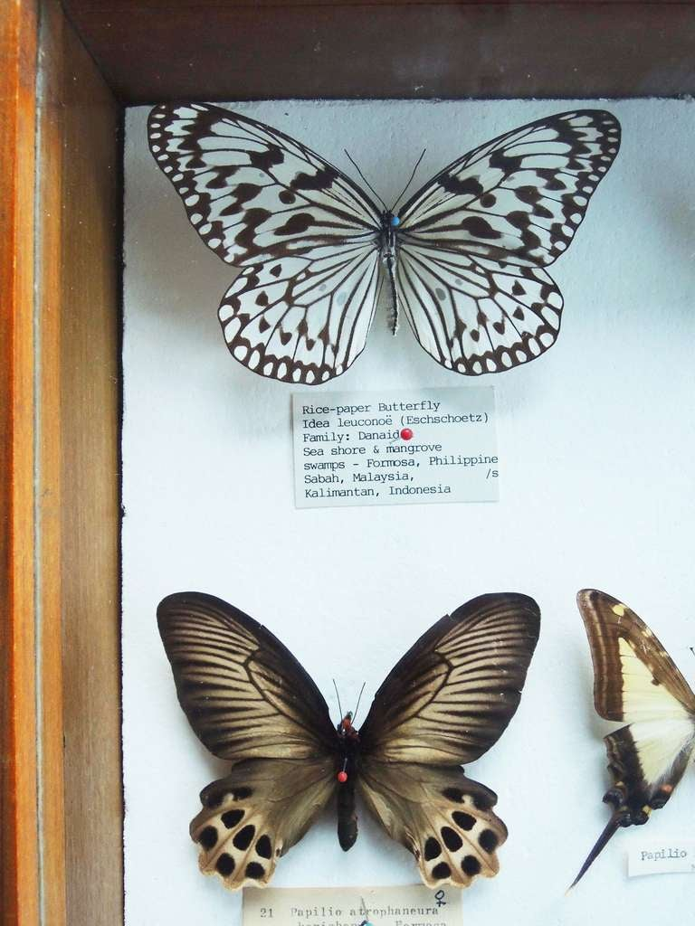 A collection of butterflies, mostly from Asia, in original wooden box, with collector's labels.