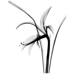 """Flower X-Ray (Fuchsia), by Dr. M. F. Agha"