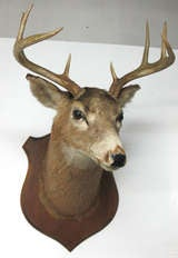 Eight Point Mounted Buck Taxidermy image 2