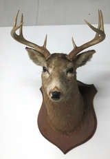 Eight Point Mounted Buck Taxidermy image 3