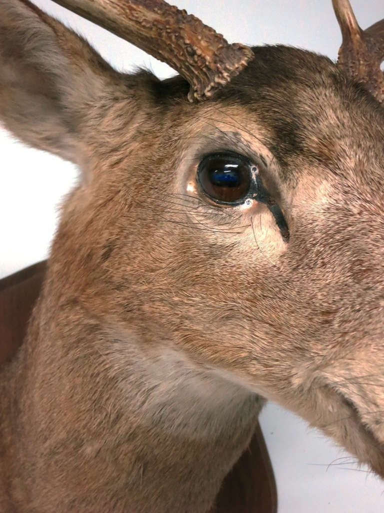 Eight Point Mounted Buck Taxidermy 4