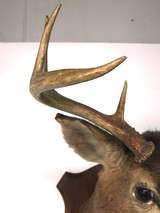 Eight Point Mounted Buck Taxidermy image 5