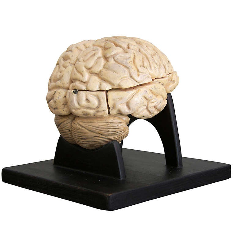 Anatomical Model Of A Human Brain On Wooden Base At 1stdibs