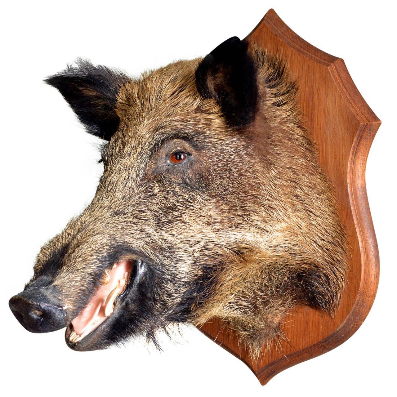 Taxidermy Boar S Head At 1stdibs