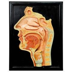 Antique Teaching Aid Human Head Model on Wall Plate
