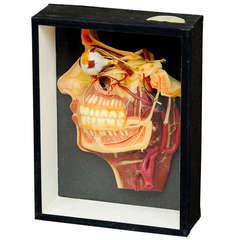 antique teaching aid wax anatomical head model