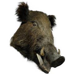 Wild Boar's Head Taxidermy