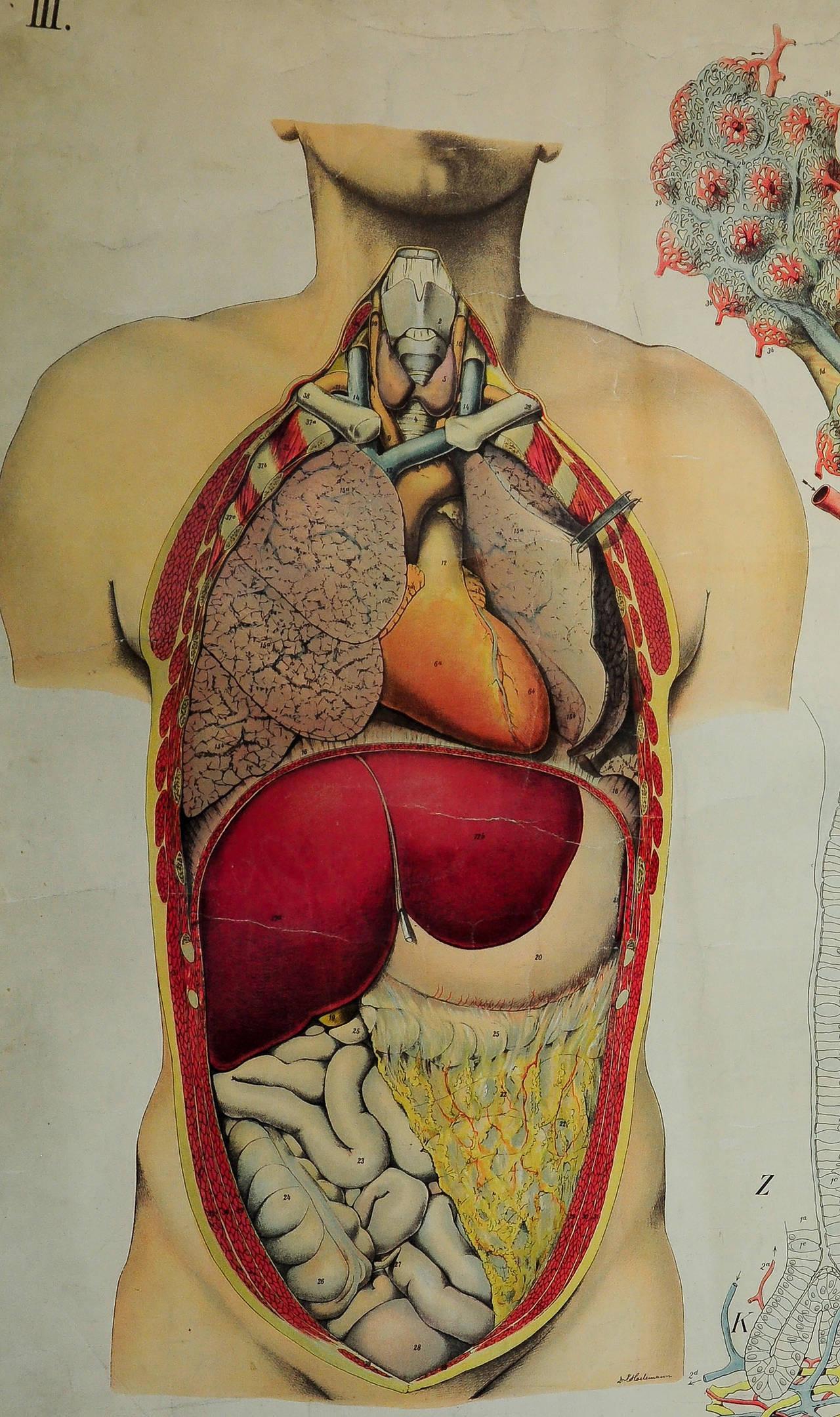 Wall chart of human anatomy
