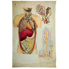 anatomical school wall chart - architecture of human anatomy 1910