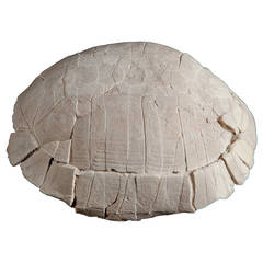 Fossil Turtle Shell