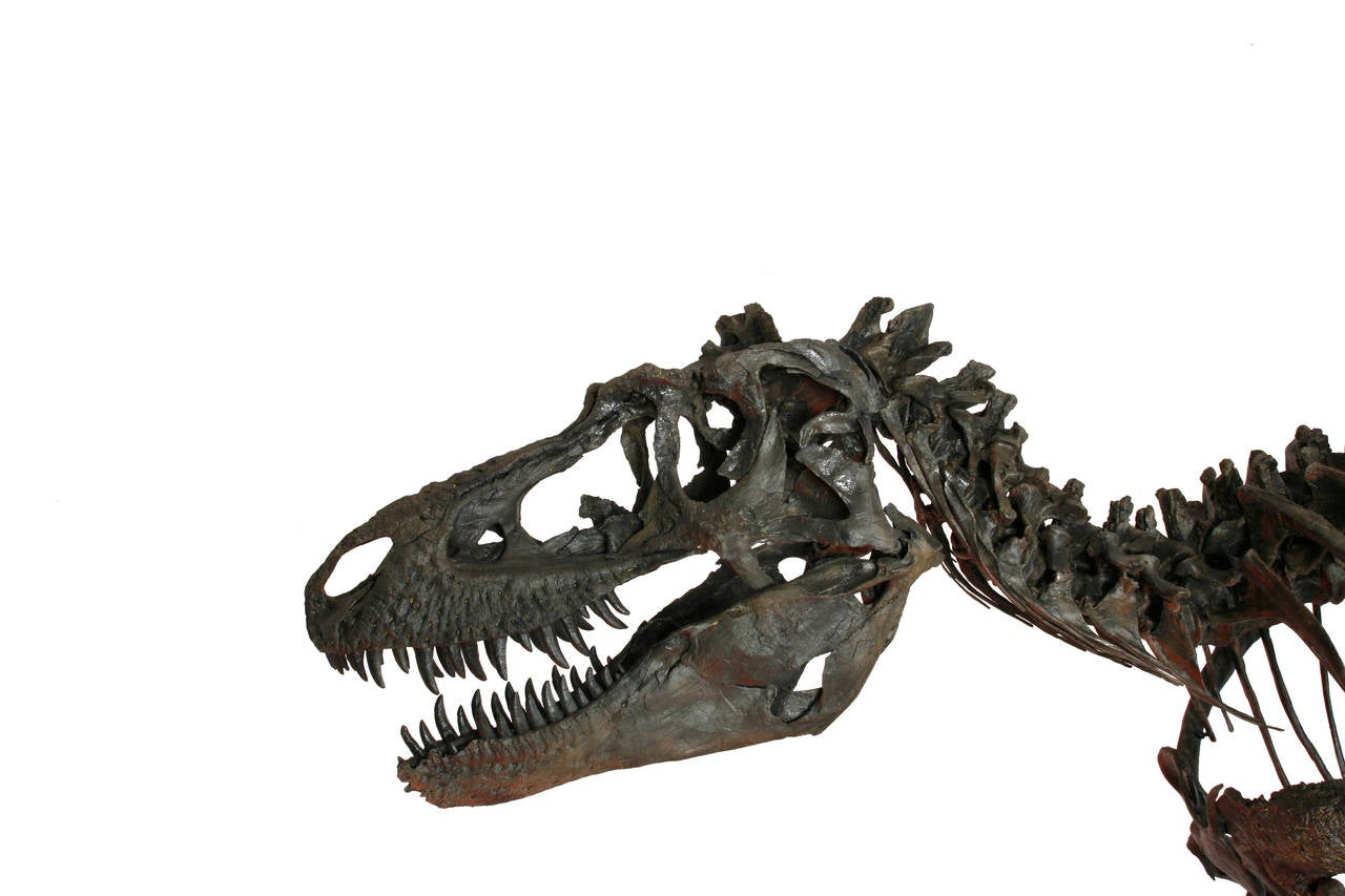 The 'Fearsome Lizard' was first described by Palaeontologist Lawrence Morris Lambe in 1914 in Alberta, Canada, it has since been discovered throughout Montana and New Mexico. As part of the Tyrannosaur family, Gorgosaurus shares many features with