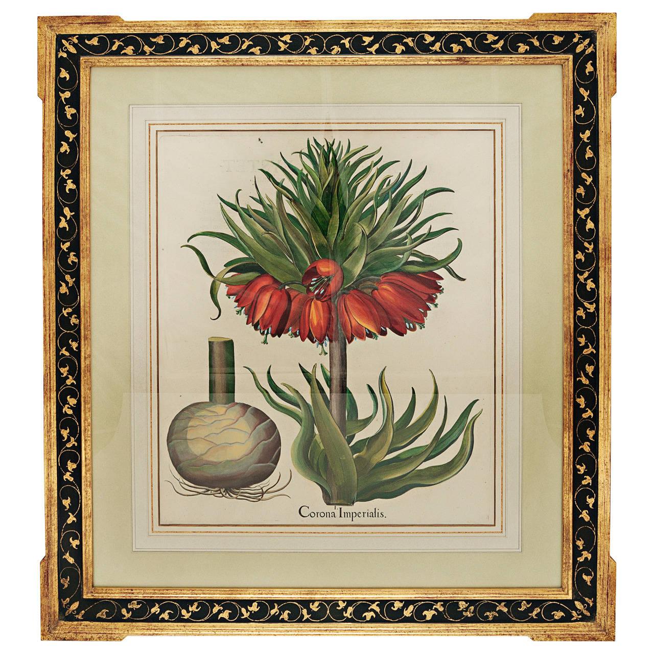 Basil Besler Corona Imperialis For Sale