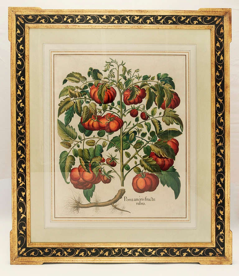 Hortus Eystettensis. Eichstat & Nurnberg, 1613 Basilius Besler. Original engraving with later hand-coloring. Acid free custom three color wash French mat with painted gold-leaf bevel in custom black panel frame with extended gold leaf corners and