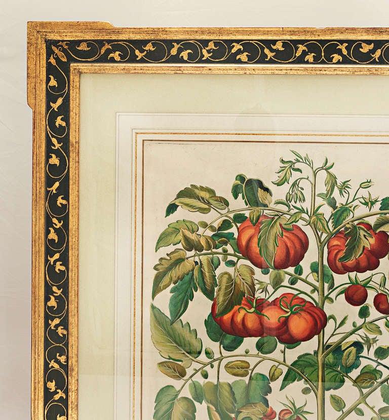 Baroque Basilius Besler, Pomaamoris Fructu Rubro For Sale