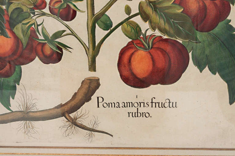 German Basilius Besler, Pomaamoris Fructu Rubro For Sale