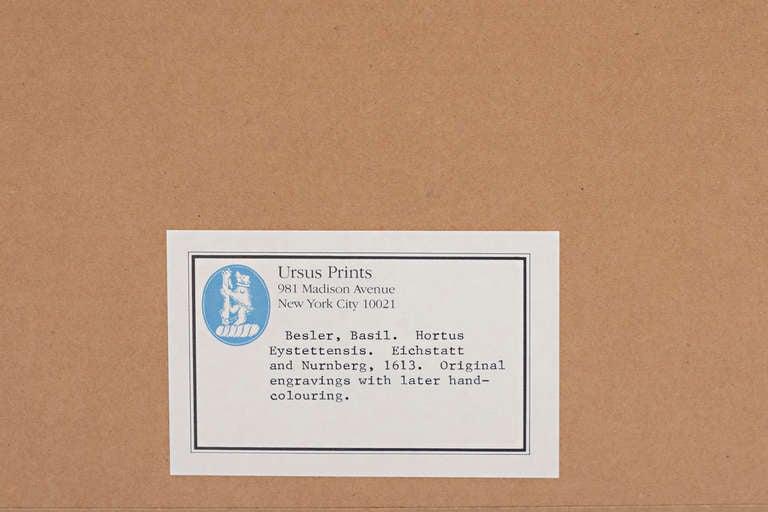 Basilius Besler, Pomaamoris Fructu Rubro In Excellent Condition For Sale In Nashville, TN