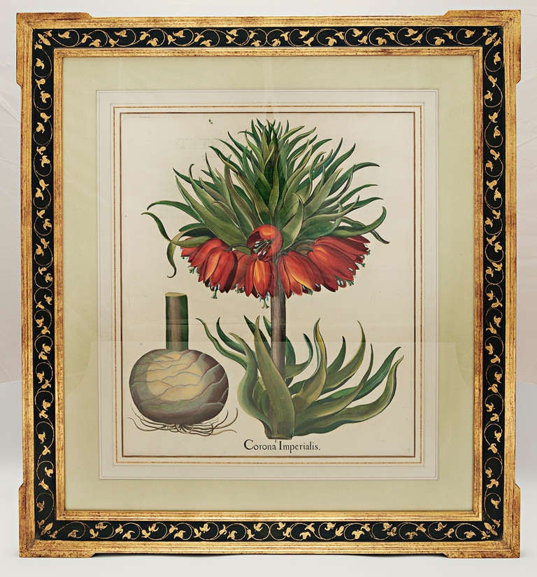 Hortus Eystettensis. Eichstat & Nurnberg, 1613 Basil Besler. Original engraving with later hand-coloring. Acid free custom three color wash French matte with painted gold leaf bevel in custom black panel frame with extended gold leaf corners and