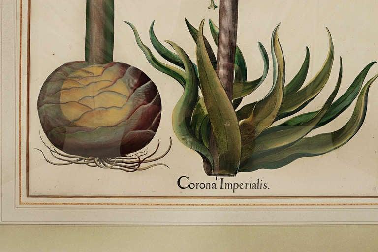 German Basil Besler Corona Imperialis For Sale