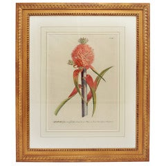18th Century George Dionysius Ehret Botanical Print