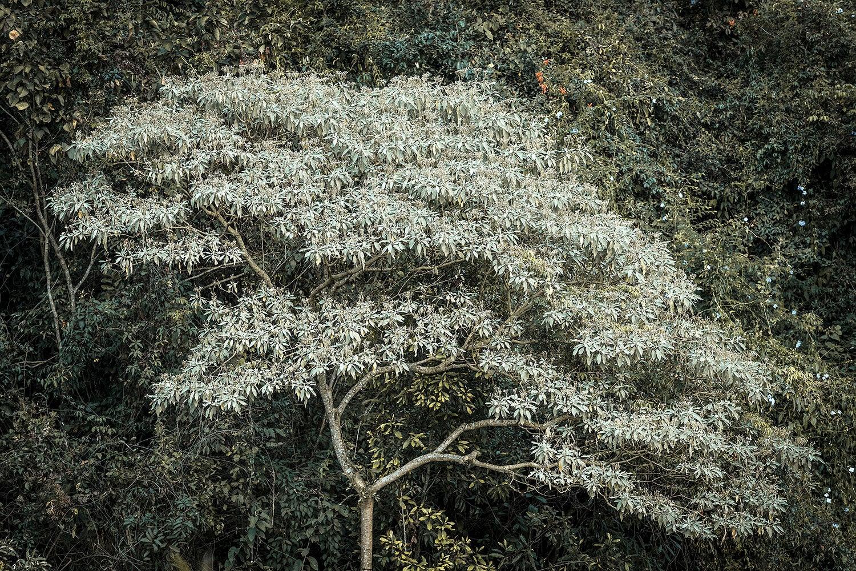 Daniel Mansur - Brumadinho Tree, Brazil
