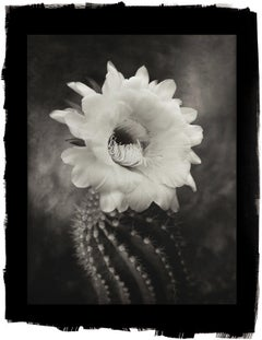 Cy DeCosse, Argentine Giant, 2012 from Midnight Garden, platinum palladium print