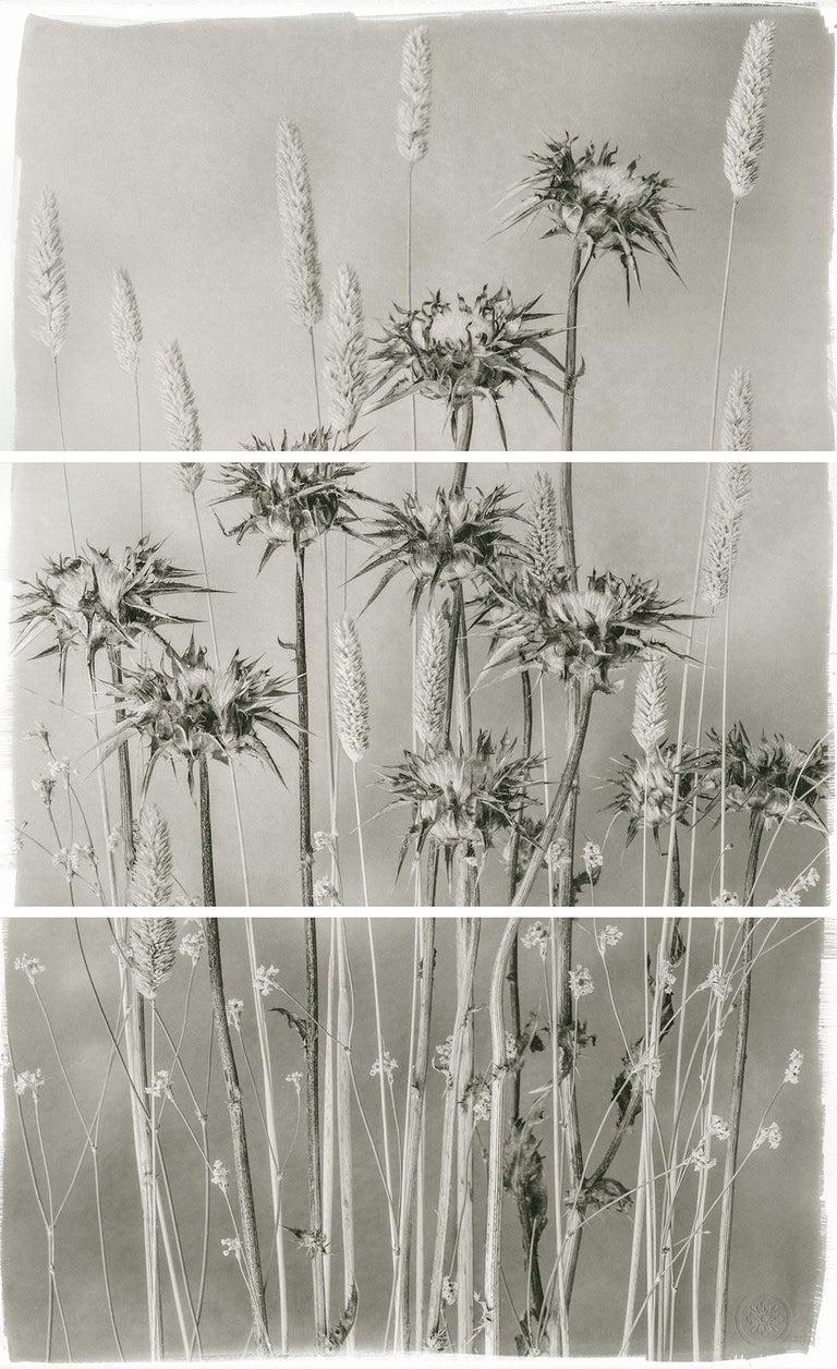 Brigitte Carnochan, Valley Grasses and Thistle, 2012