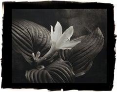 Cy DeCosse, August Lily Hasta, 2012 from Midnight Garden, platinum print
