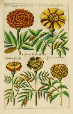 Early 17th Century - Flower Specimens