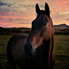 Pembrokeshire Horse
