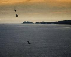 Pembrokeshire Seagulls