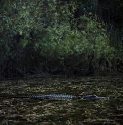 American Alligator, Turner River, Big Cypress National Preserve, FL