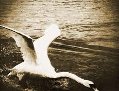 Summer Pond Swan