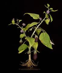 Aubergine Plant with Phalanx
