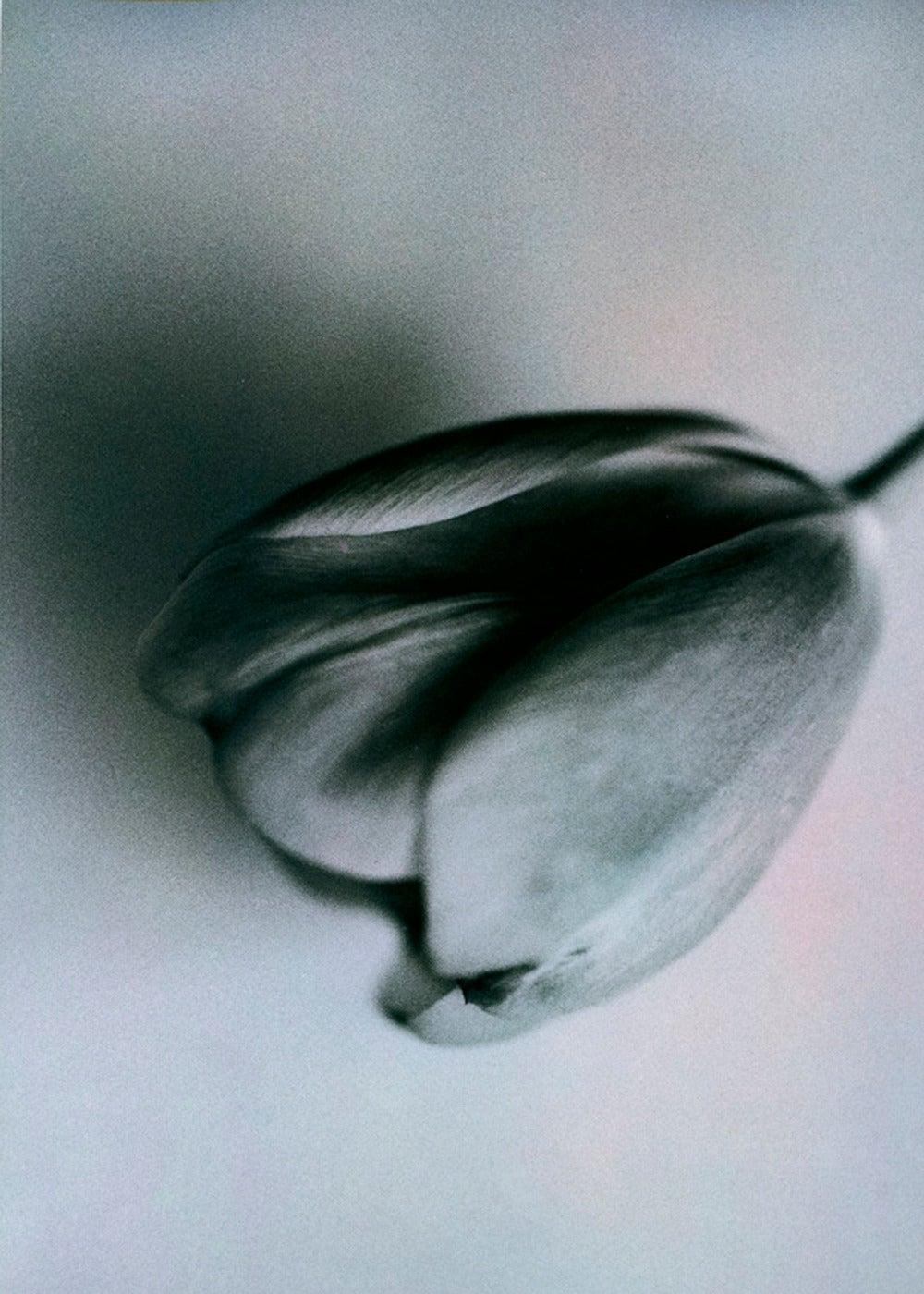 Don Freeman - Tulip 1