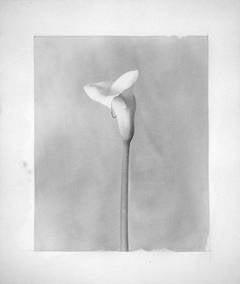 Hiromitsu Morimoto - Calla Lily