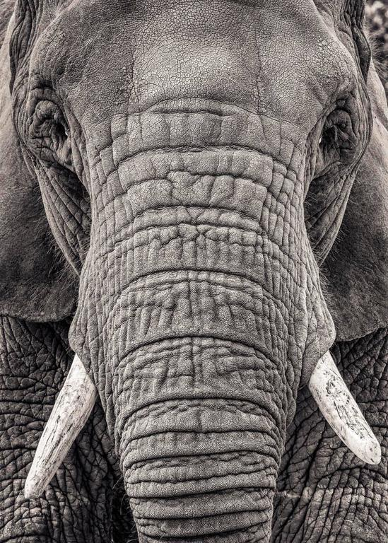 Paul Coghlin Black and White Photograph - Portrait of an Elephant III