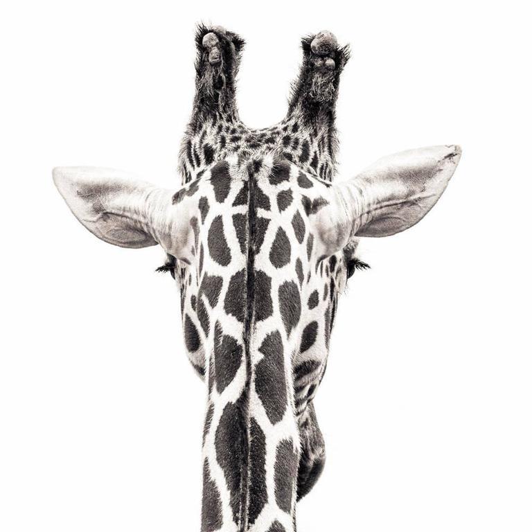 Paul Coghlin - Giraffe 8 1