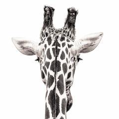 Giraffe 8