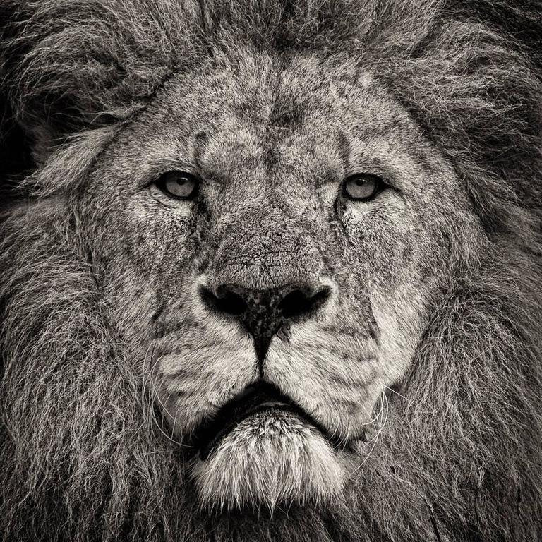 Paul Coghlin Black and White Photograph - Lion's Stare
