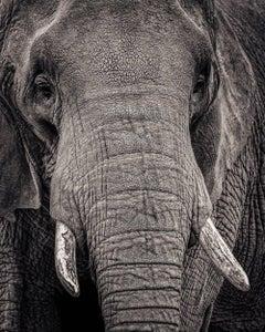 Portrait of an Elephant II