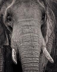 Portrait of an Elephant II