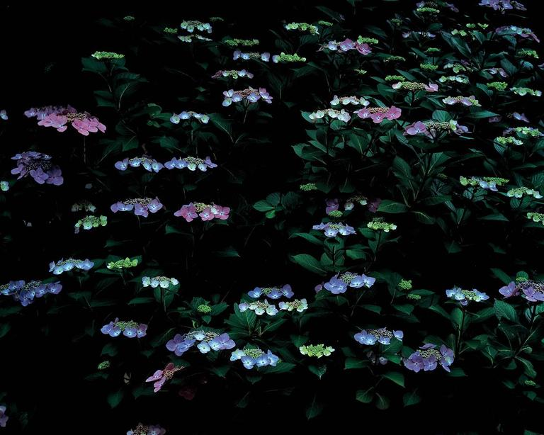 Yoshimitsu Nagasaka Color Photograph - Lacecap Hydrangea