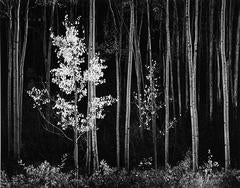 Ansel Adams - Aspens, Northern New Mexico ~ Horizontal