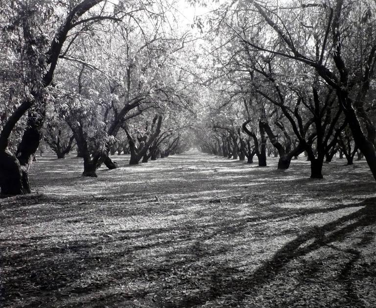 Rod Dresser Black and White Photograph - Almond Grove