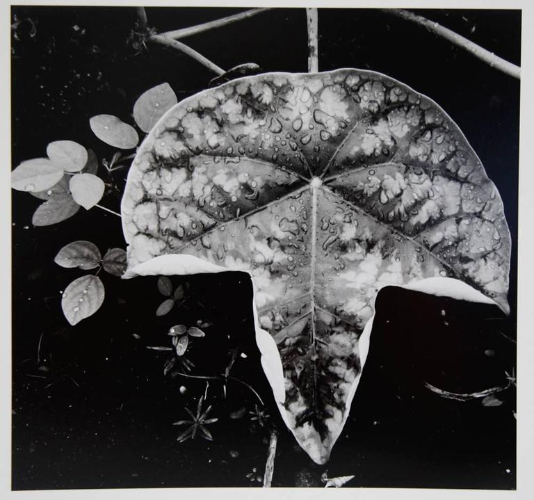 Brett Weston - Leaf and Rain Drops 1